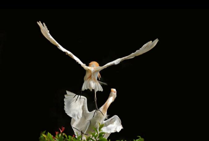 Cattle Egrets by Gururaj Moorching - La Paz Group
