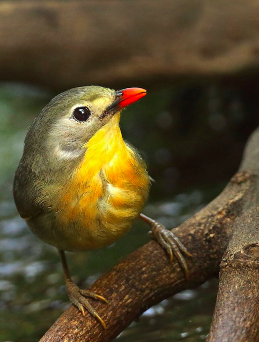 Red-billed Leiothrix by Gururaj Moorching - La Paz Group