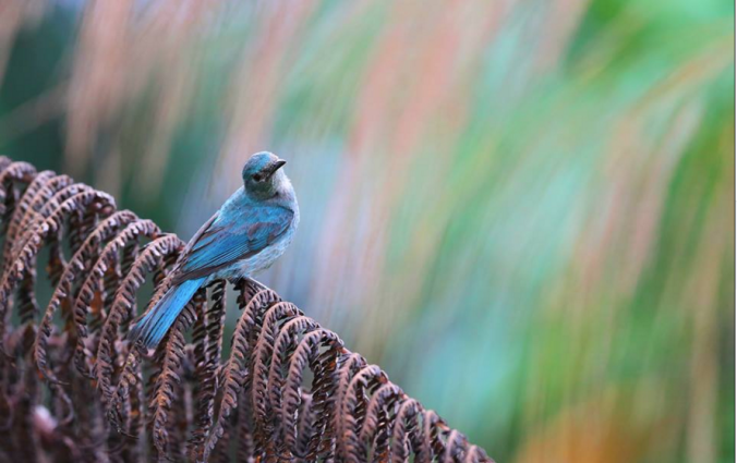 Verditer Flycatcher by Gururaj Moorching - La Paz Group