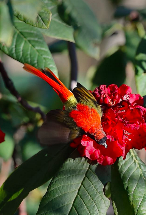 Fire-tailed Sunbird male by Gururaj Moorching - La Paz Group