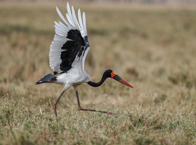 Saddle-billed Stork by Sudhir Shivaram - La Paz Group