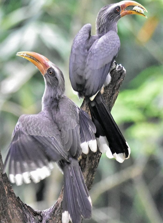 Malabar Grey Hornbill by Vijaykumar Thondaman - La Paz Group
