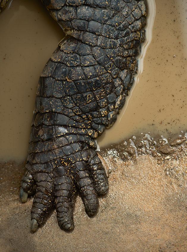 090-crocodile-foot