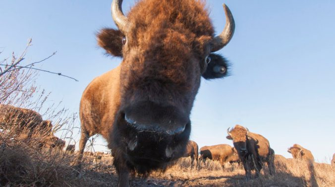 Bison trigger a camera trap set up on the prairie at The Nature Conservancy's Tallgrass Prairie Preserve in Pawhuska, Oklahoma. These behemoths are known as key grassland ecosystem engineers. Their grazing patterns play a key role in growing plant diversi