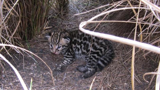 3-week-old-male-kitten-at-den-site-Laguna-Atscosa-NWR.jpg