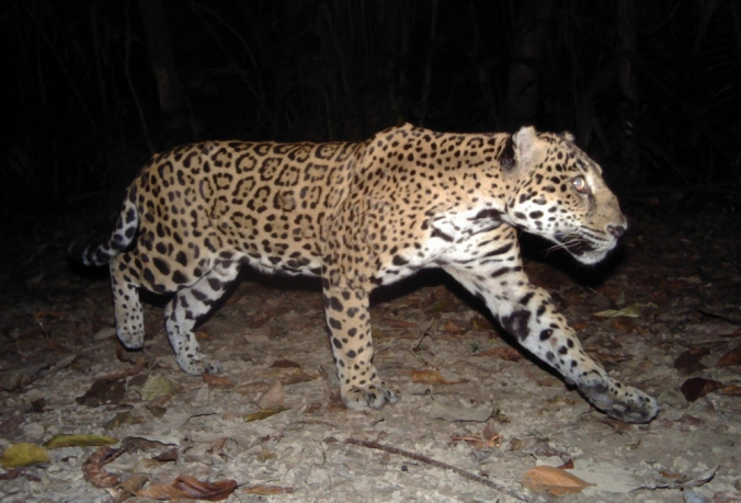 a-jaguar-passes-a-camera-panthera-ub-eri-belize-audubon-society