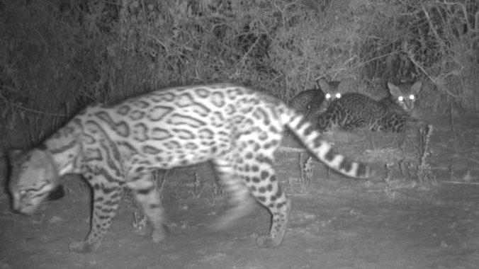 mother-ocelot-and-two-kittens-on-yturria-conservation-easement