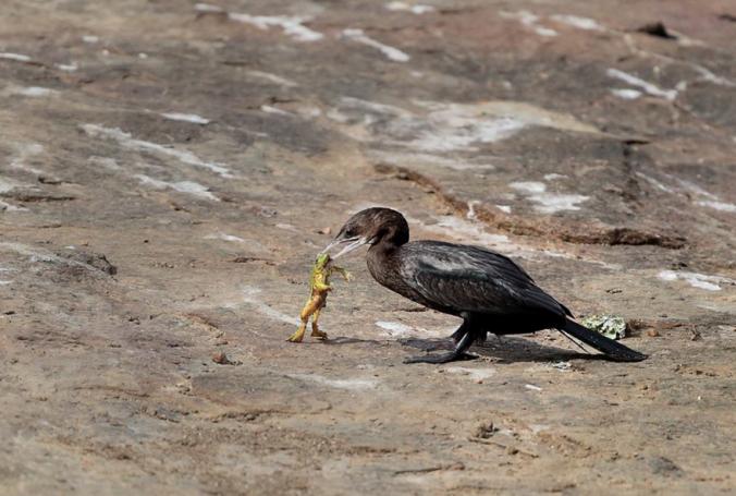 Little Cormorant by Gururaj Moorching - La Paz Group