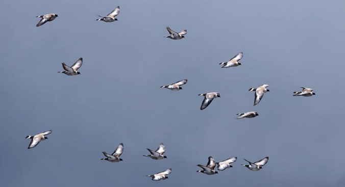 Snow Pigeons by Gururaj Moorching - La Paz Group