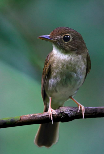 Nicobar Jungle-Flycatcher by Gururaj Moorching - La Paz Group
