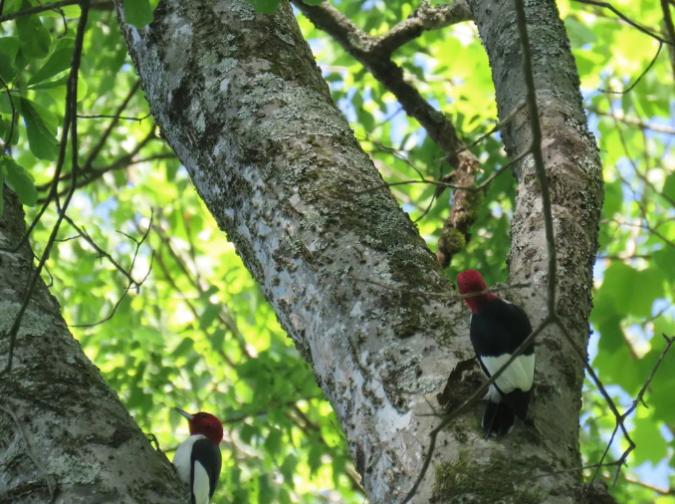 Red-headed Woodpeckers by Seth Inman - Organikos
