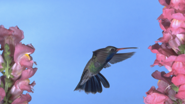 A broad-billed hummingbird—one of the species found in Patagonia-Sonoita Creek, in Madera Canyon, Arizona. Photo © Dick Dickenson