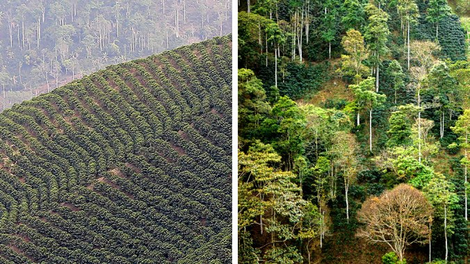 Sun-grown coffee (left) is a monoculture of coffee bushes. Shade-grown coffee (right) offers more habitat for forest species. Photos: Chris Foito/Cornell Lab Multimedia; Guillermo Santos).
