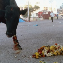 At sunrise, a cows meal of flower offerings