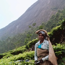 A tea trimmer, paid 300 rupees a day to clip the fresh leaves off the bush. She carries her clippings on her head.