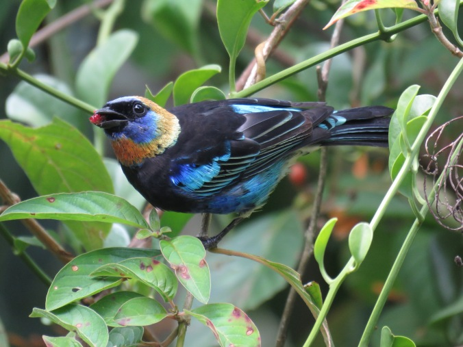 Golden-hooded Tanager by Seth Inman, La Paz Group, Chan Chich Lodge