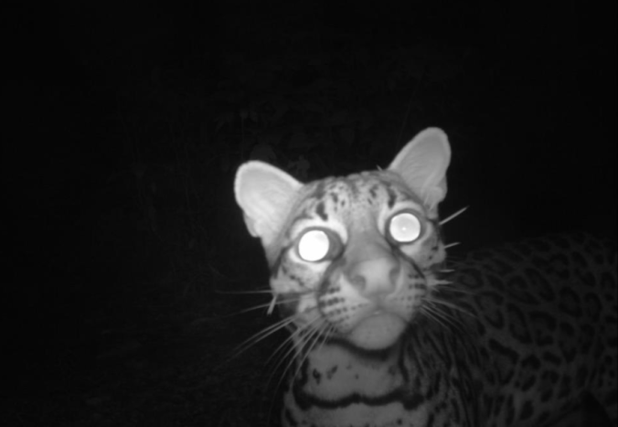 Ocelot curious about the red light of the camera