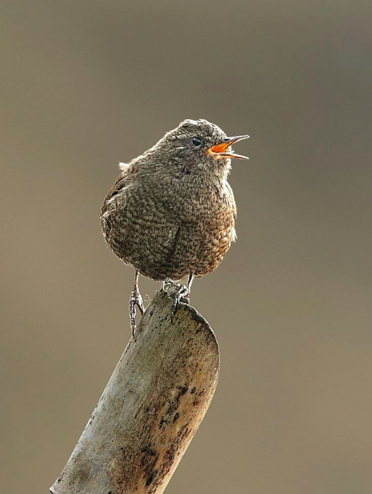 Winter Wren by Gururaj Moorching - La Paz Group