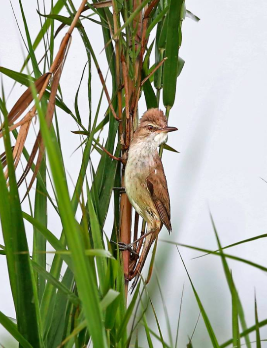 Oriental Reed Warbler by Gururaj Moorching - La Paz Group