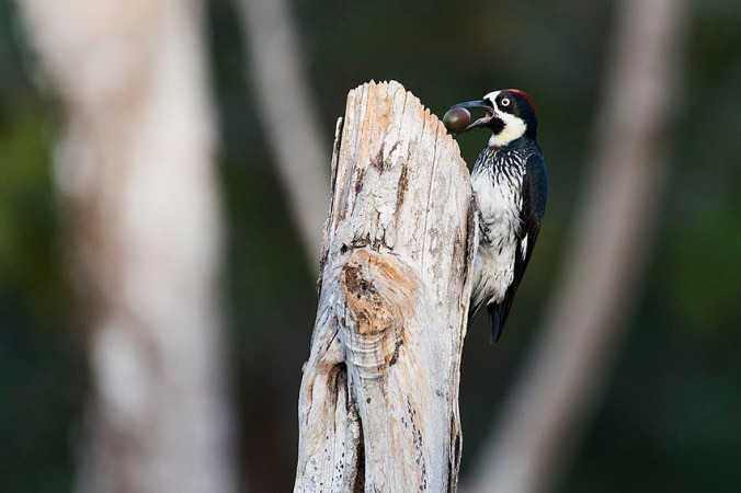 Acorn Woodpecker by Leander Khil - La Paz Group
