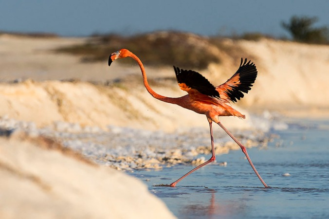 American Flamingo by Leander Khil - La Paz Group