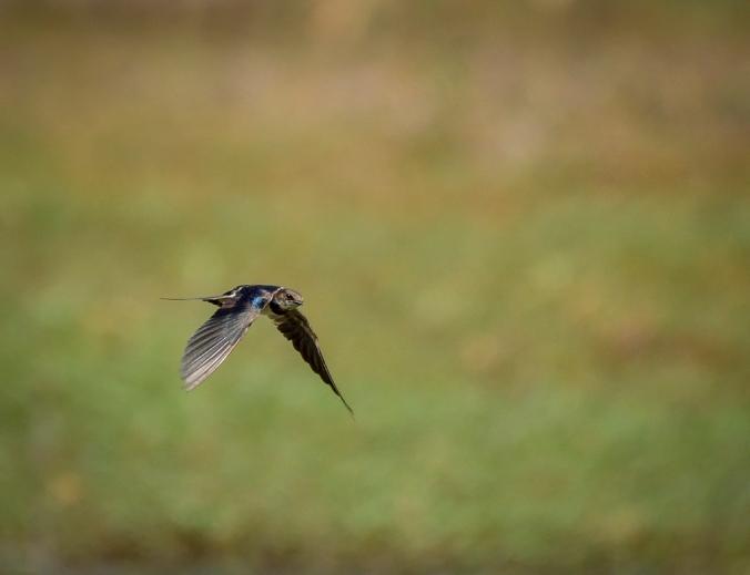 Barn Swallow by Chetan Krishnamurthy - La Paz Group