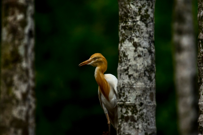Cattle Egret by Chetan Krishnamurthy - La Paz Group