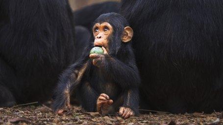 chimp_wide-e9ca161342ebb893d6a491900854de4b7f2b84fc-s1400-c85.jpg