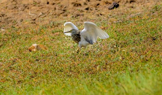 Indian Pond Heron by Chetan Krishnamurthy - La Paz Group