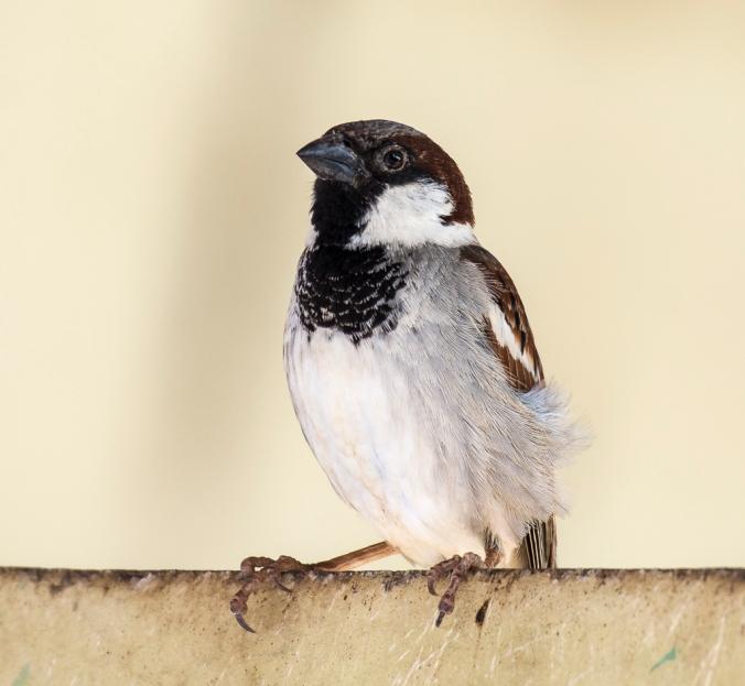 House Sparrow by Chetan Krishnamurthy - La Paz Group