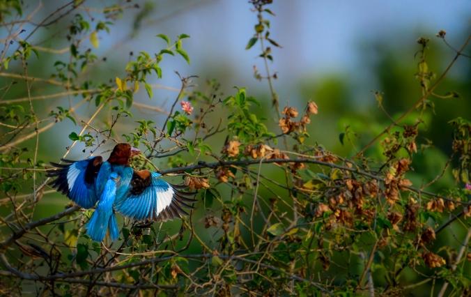 White-bellied Kingfisher by Chetan Krishnamurthy - La Paz Group