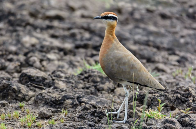 Indian Courser by Ramesh Desai - La Paz Group