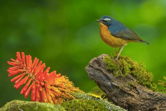 Indian Blue Robin by Dr. Eash Hoskote - La Paz Group