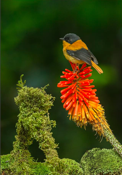Black-and-Orange Flycatcher by Dr. Eash Hoskote - La Paz Group