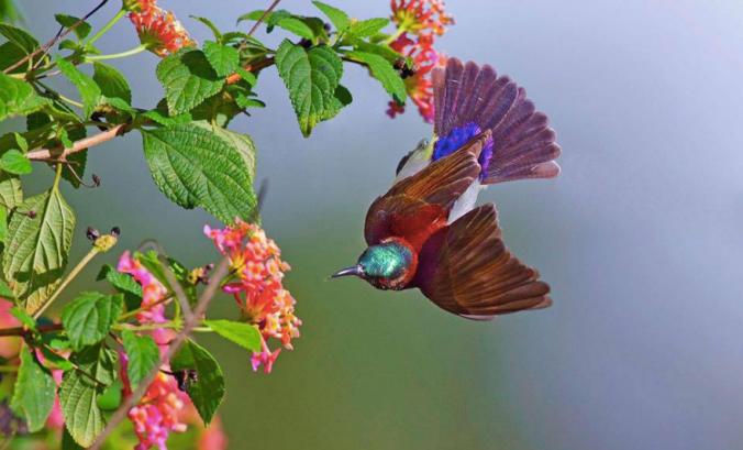 Purple-rumped Sunbird by Gururaj Moorching - La Paz Group