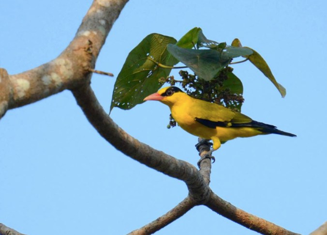 Black-naped Oriole by Puneet Dhar - La Paz Group