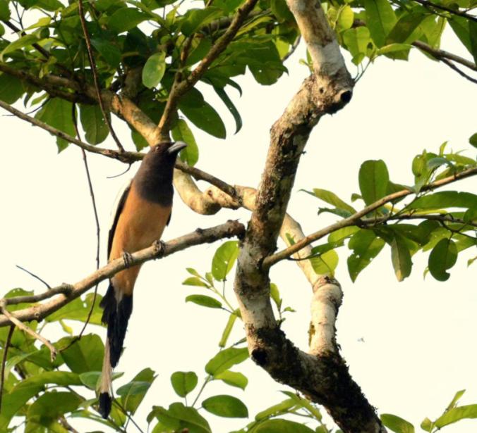 Rufous Treepie by Puneet Dhar - La Paz Group