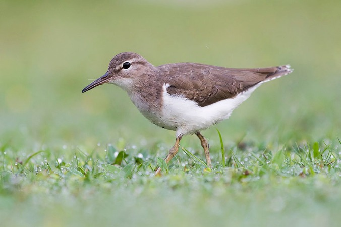Spotted Sandpiper by Leander Khil - La Paz Group