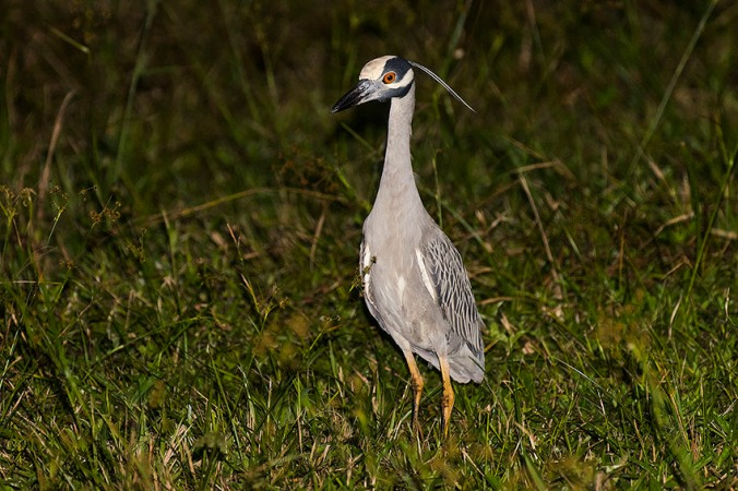 Yellow-crowned Night Heron by Leander Khil - La Paz Group