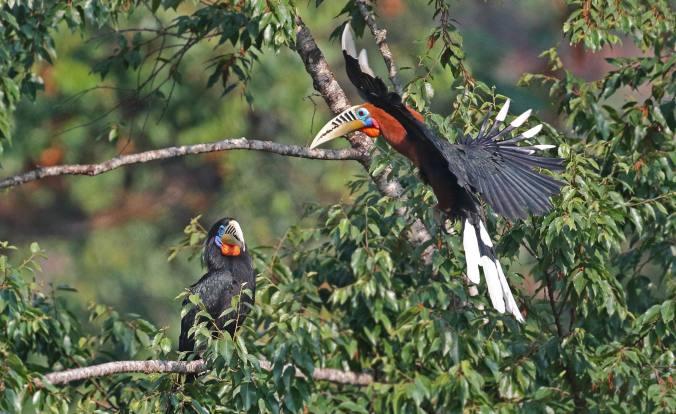 Rufous-necked Hornbill by Gururaj Moorching - La Paz Group