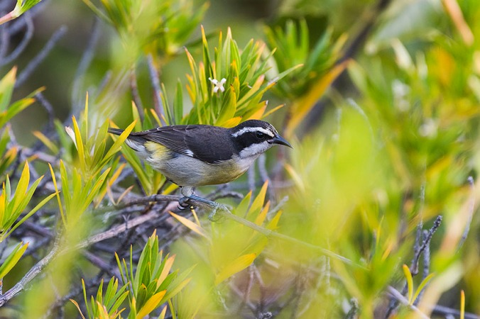 Bananaquit by Leander Khil - La Paz Group