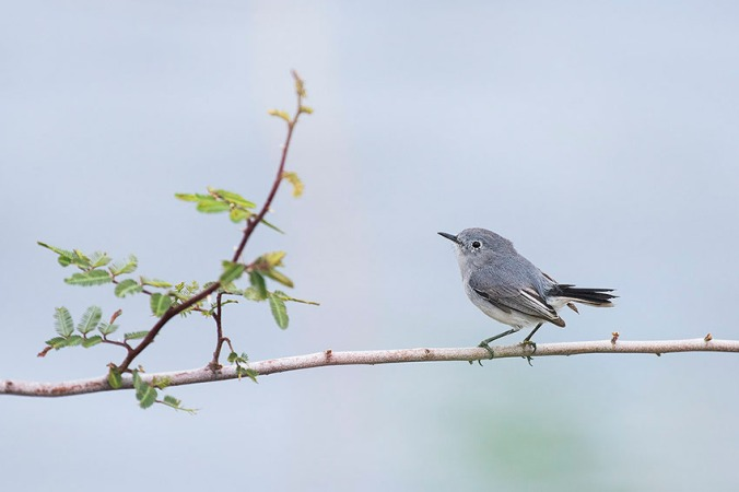 Blue-gray Gnatcatcher by Leander Khil - La Paz Group