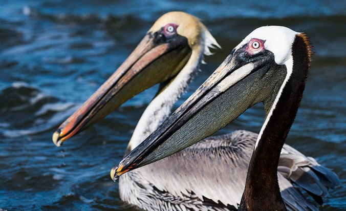 Brown Pelican by Leander Khil - La Paz Group