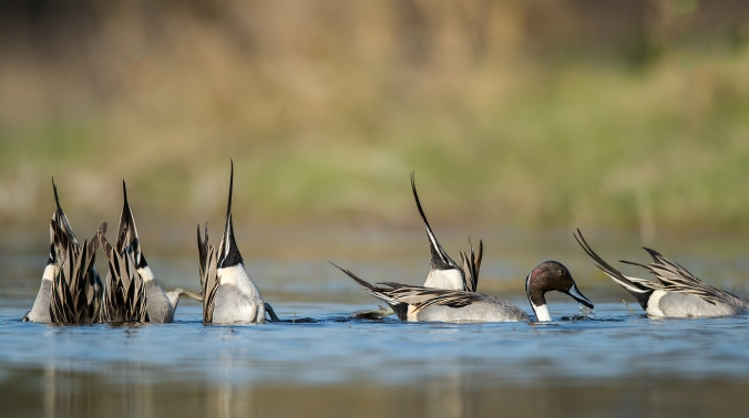 Pintailed Ducks by Sudhir Shivaram - La Paz Group