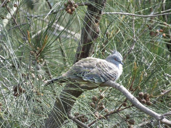 Crested Pigeon by James Zainaldin - La Paz Group