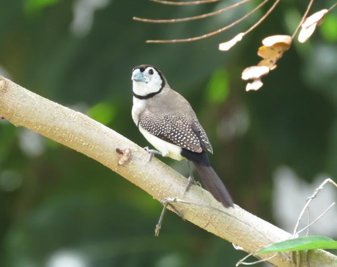 Double-barred Finch by James Zainaldin - La Paz Group