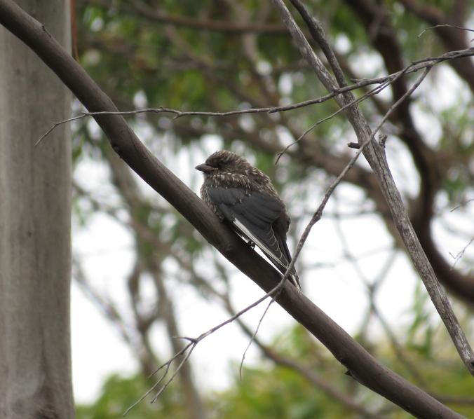 Dusky Woodswallow by James Zainaldin - La Paz Group