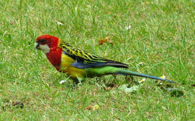 Eastern Rosella by James Zainaldin - La Paz Group