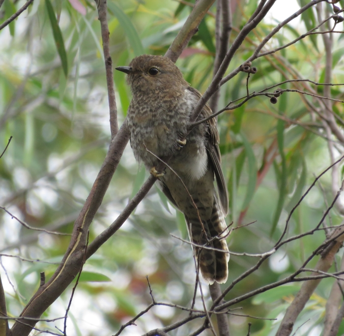 Fan-tailed Cuckoo by James Zainaldin - La Paz Group