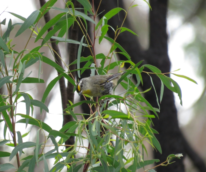 Striated Pardalote by James Zainaldin - La Paz Group